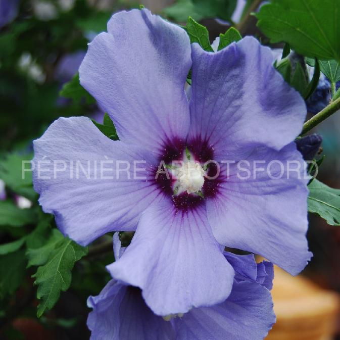 / Rose of Sharon